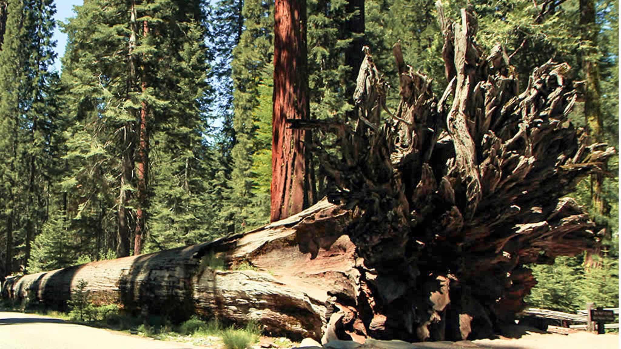 Fallen Redwood Tree Hiking Near Healdsburg