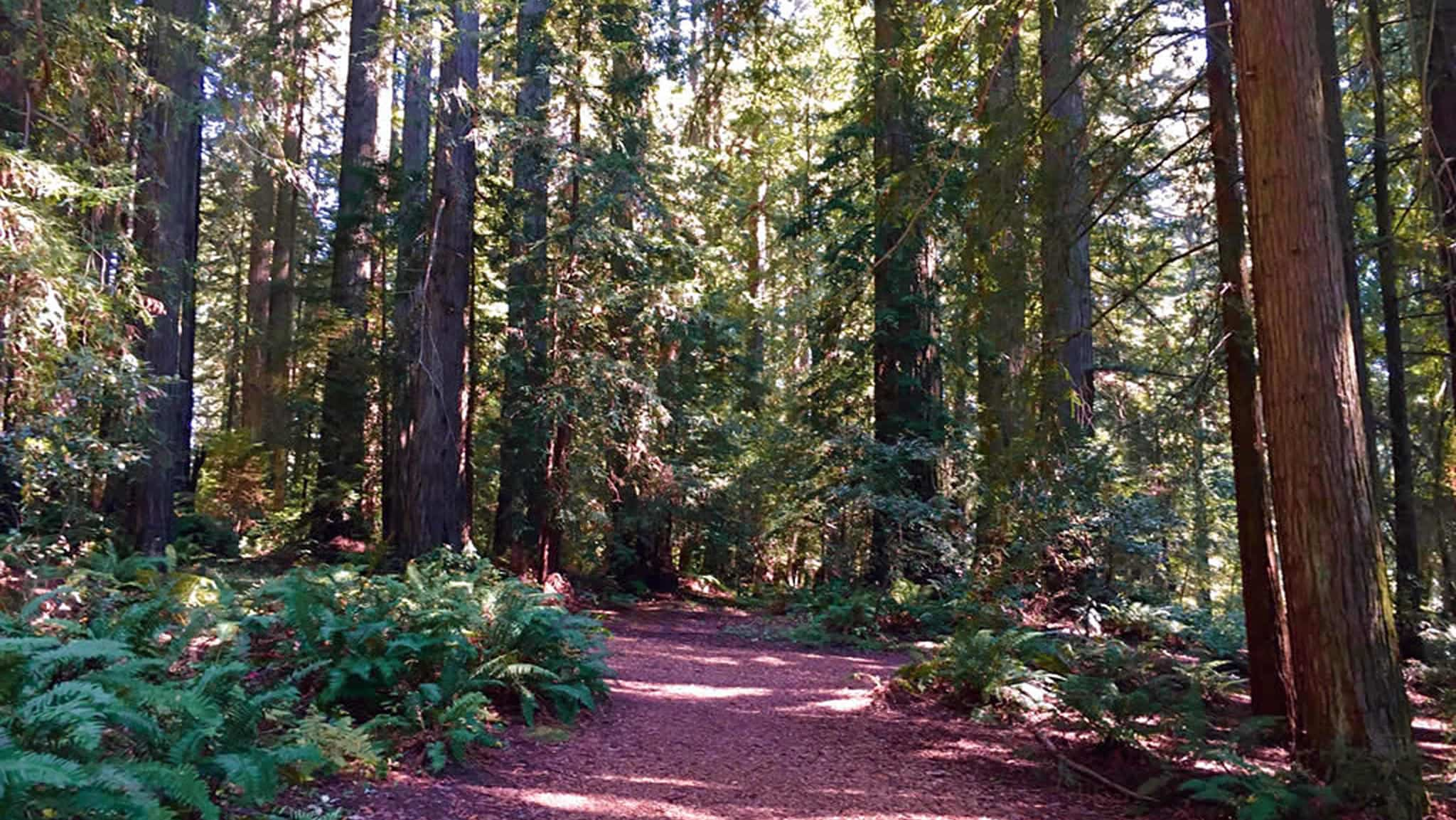 Soft Paths In Redwood Forest